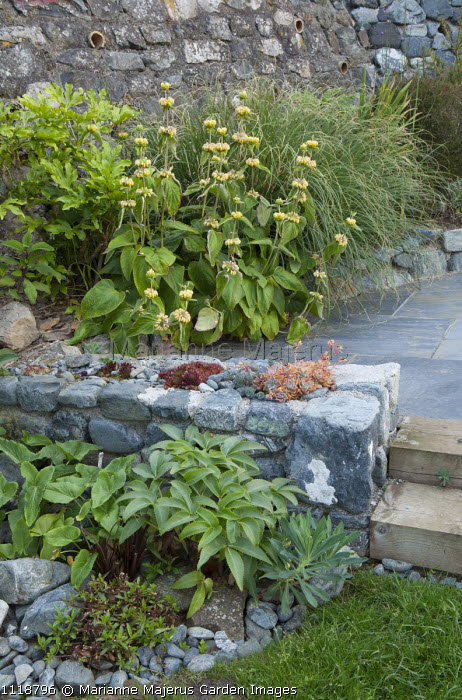 Phlomis russeliana, stone wall with sempervivums