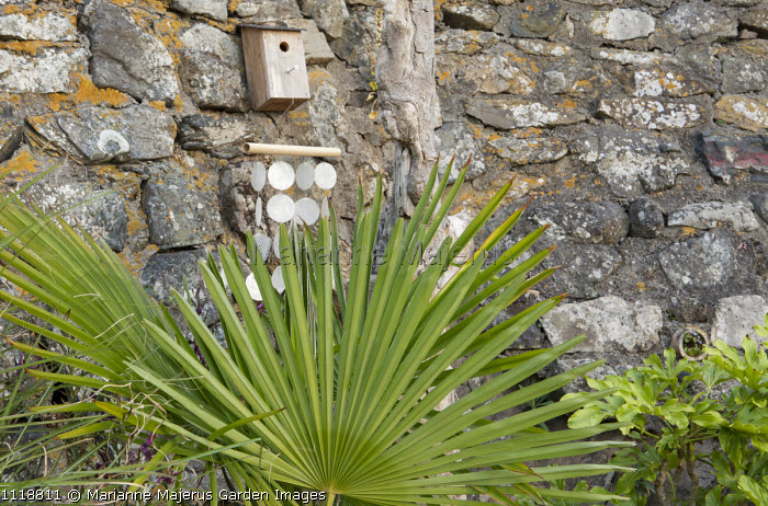 Trachycarpus fortunei against wall, bird box, wind chimes