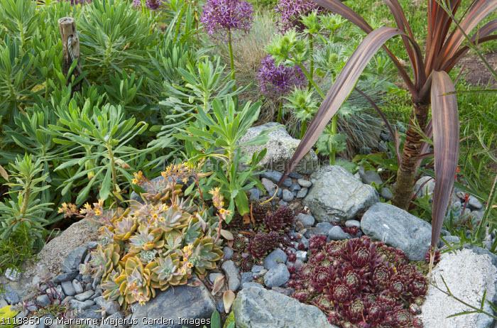 Sempervivums and echeveria in top of stone wall, phormium, allium, euphorbia