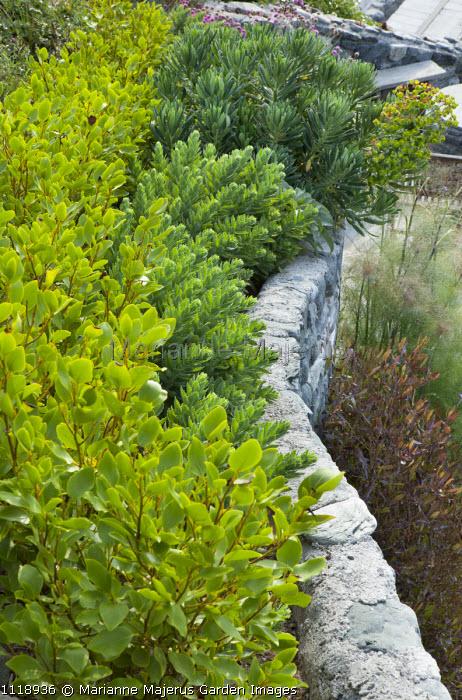 Griselinia littoralis hedge, euphorbia, wall