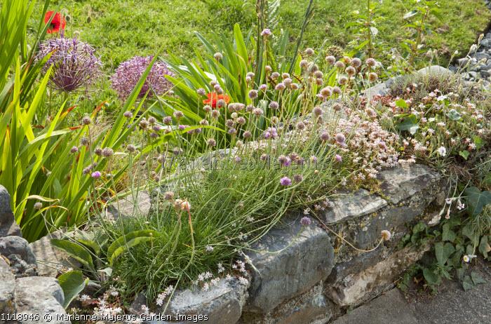 Allium schoenoprasum growing in wall, Allium cristophii