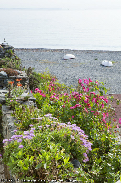 Seaside garden overlooking shingle beach and boats, rose, wall planted with arctotis and mesembryanthemum