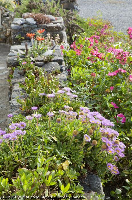 Wall planted with arctotis and mesembryanthemum