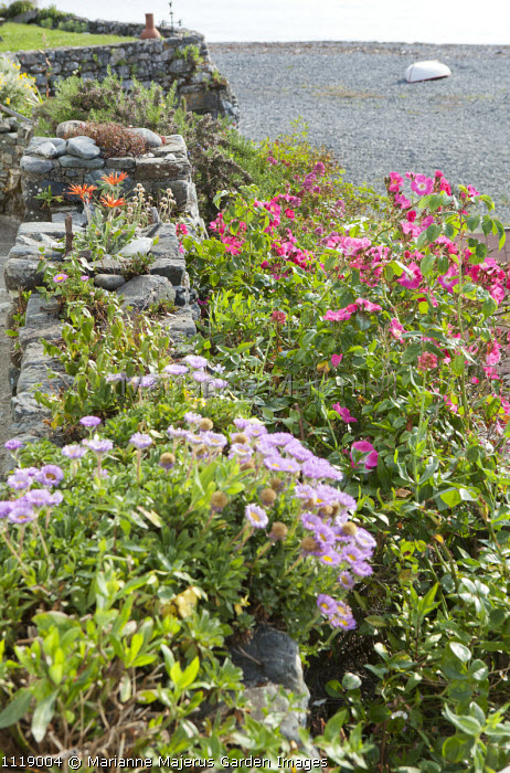 Wall planted with arctotis and mesembryanthemum