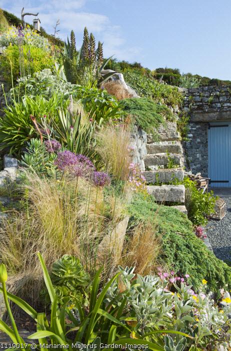Stone steps in wall, Allium cristophii, acanthus