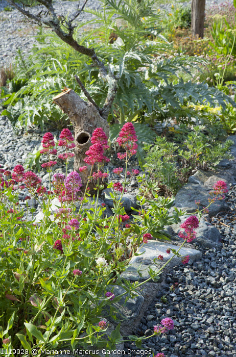 Centranthus ruber and cynara on shingle beach