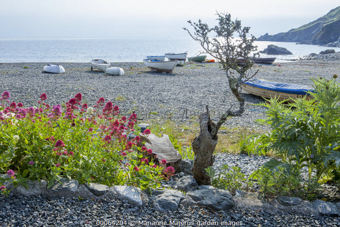 Porthallow Cove, Centranthus ruber on shingle beach, boats