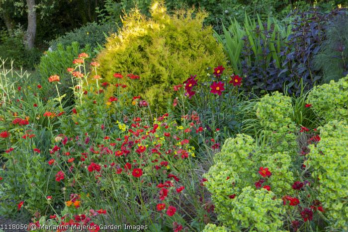 Hot border, Geum 'Mrs J. Bradshaw' syn. Geum 'Feuerball', dahlia, euphorbia, Lychnis chalcedonica, Lysimachia ciliata 'Firecracker', Thuja occidentalis 'Rheingold'