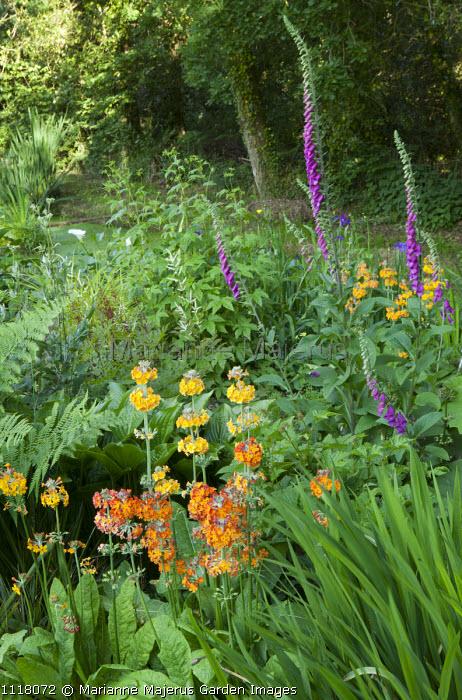 Bog garden, Primula Harlow Carr hybrids, foxgloves
