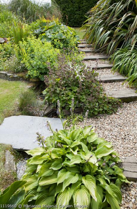 Steps through border, Hosta fortunei, Alchemilla mollis, Geum 'Borisii', Darmera peltata syn. Peltiphyllum peltatum