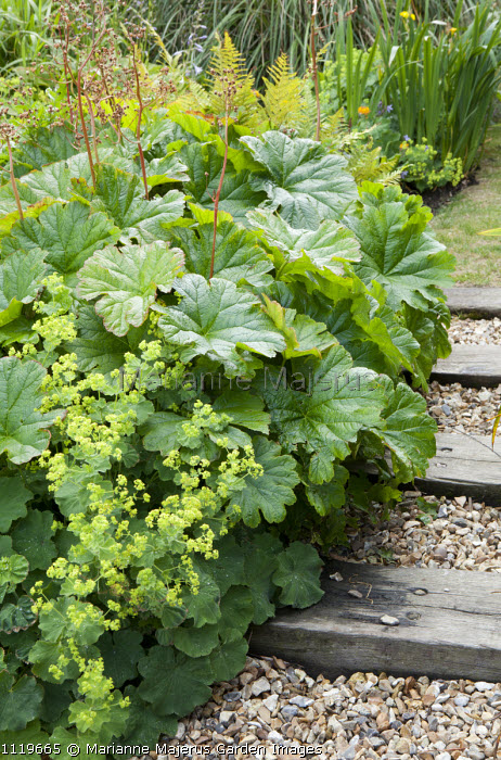 Alchemilla mollis and Darmera peltata syn. Peltiphyllum peltatum by timber edged steps