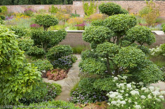 Cloud-pruned Carpinus betulus, walled garden, Selinum wallichianum syn. Selinum tenuifolium, niwaki