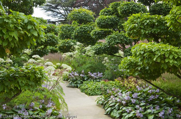 Cloud-pruned Carpinus betulus avenue, Hosta 'Devon Green', Selinum wallichianum syn. Selinum tenuifolium, niwaki