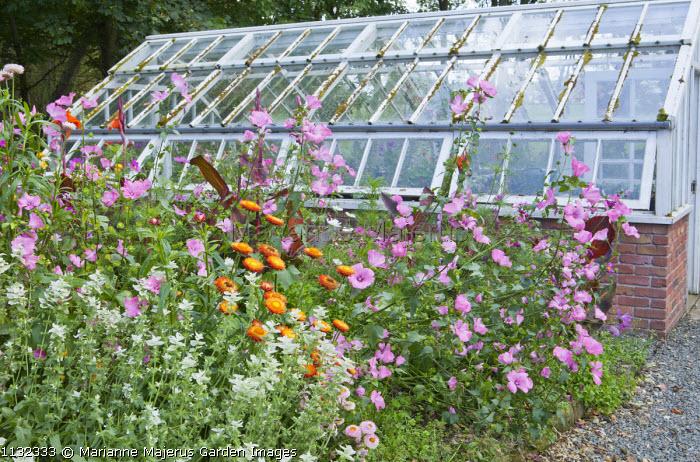 Lavatera trimestris 'Silver Cup', Cosmos bipinnatus, Xerochrysum bracteatum, Salvia viridis, canna, greenhouse