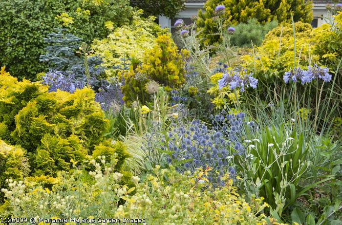 Front garden, Eryngium planum 'Jade Frost', agapanthus, choisya, conifers, Cynara cardunculus, Oenothera biennis
