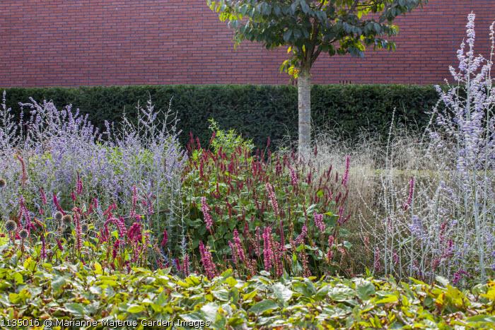 Persicaria amplexicaulis 'Early Pink Lady', Perovskia 'Blue Spire', Persicaria 'Red Baron', Perovskia atriplicifolia 'Little Spire', Prunus subhirtella 'Dahlem'