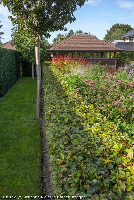 Clipped beech hedge, Eupatorium maculatum 'Laag', Persicaria amplexicaulis 'Firedance', garden room, Prunus subhirtella 'Dahlem'