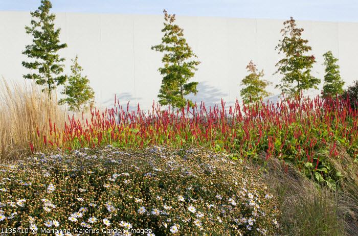Quercus palustris, Kalimeris incisa 'Madiva', Persicaria amplexicaulis 'Firedance'