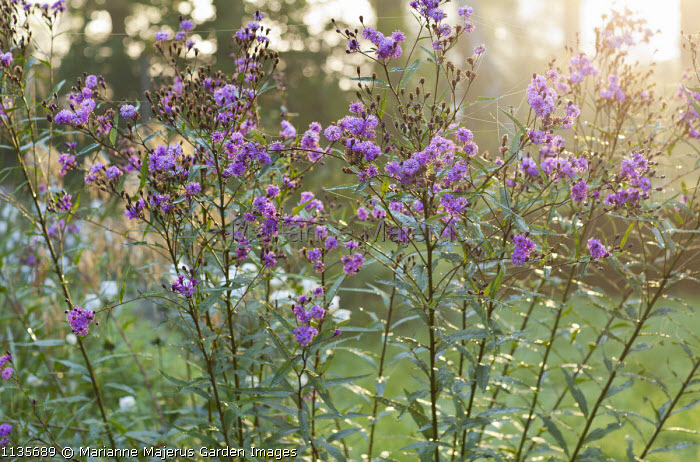 Vernonia arkansana 'Mammuth' syn. Vernonia crinita