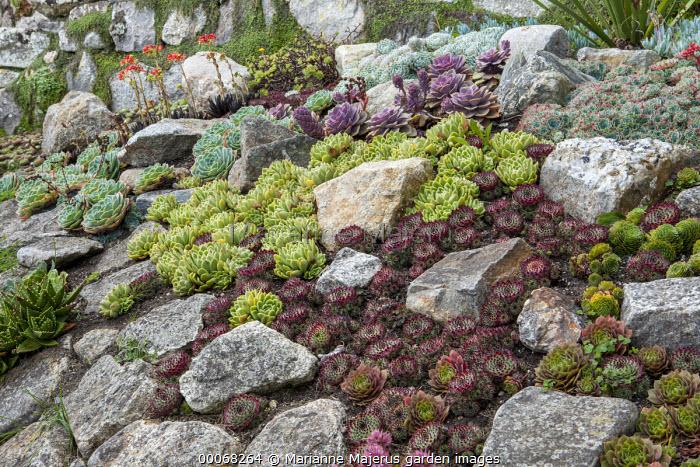 Sempervivums and drought-tolerant succulents in rock garden, Echeveria elegans