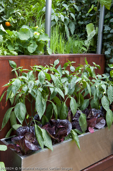 Outdoor kitchen, edible planting, living green wall, Capsicum frutescens and lettuce in a metal container