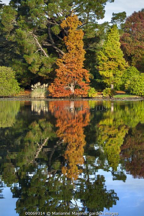 Taxodium distichum, reflection in lake