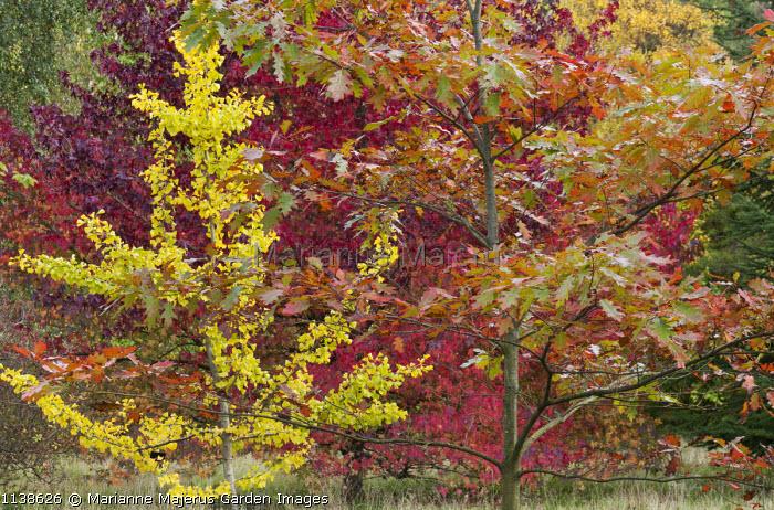 Ginkgo biloba, Quercus rubra, Liquidambar styraciflua
