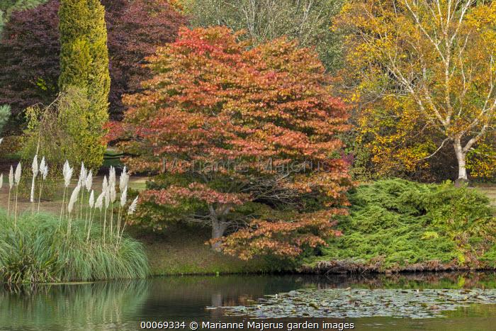 Acer platanoides 'Reitenbachii' by lake, Cortaderia selloana