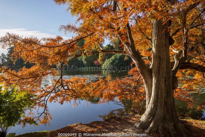 Taxodium distichum by lake