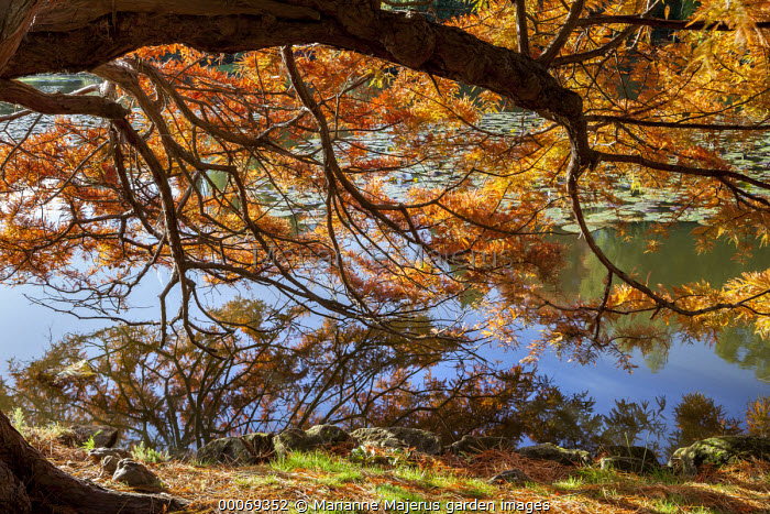Taxodium distichum by lake, reflection