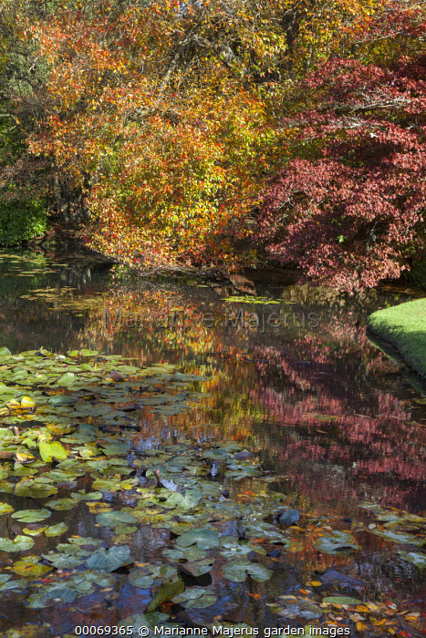 Nyssa sylvatica and Acer palmatum by water lily lake