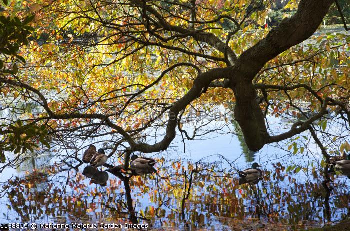 Mallards on lake under Nyssa sylvatica