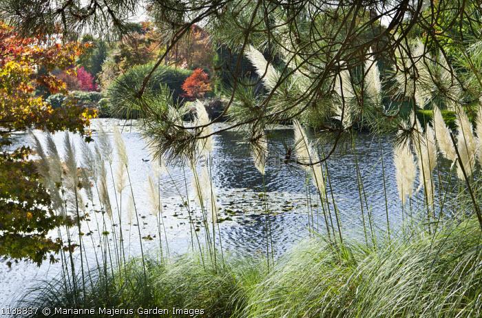 Cortaderia selloana by lake