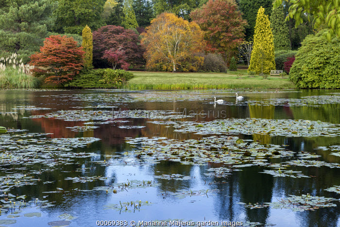 View across lake, swans, water lilies, Acer palmatum