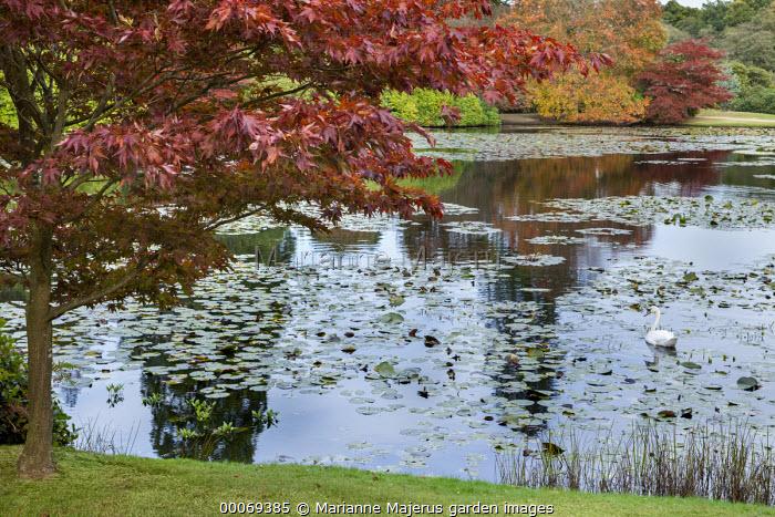 Acer palmatum overhanging waterlily lake, swan
