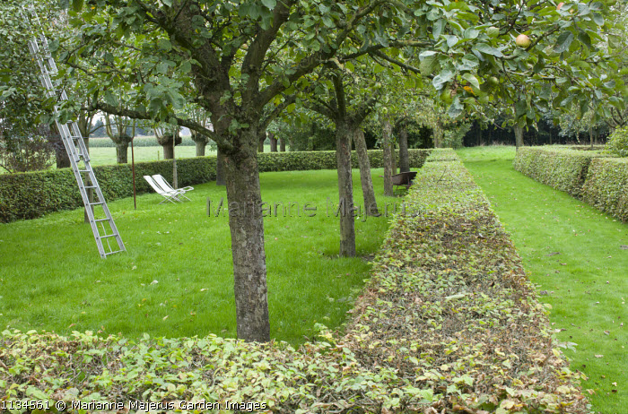 Apple orchard in clipped hornbeam hedge enclosure, deckchairs, ladder, garden 'room'