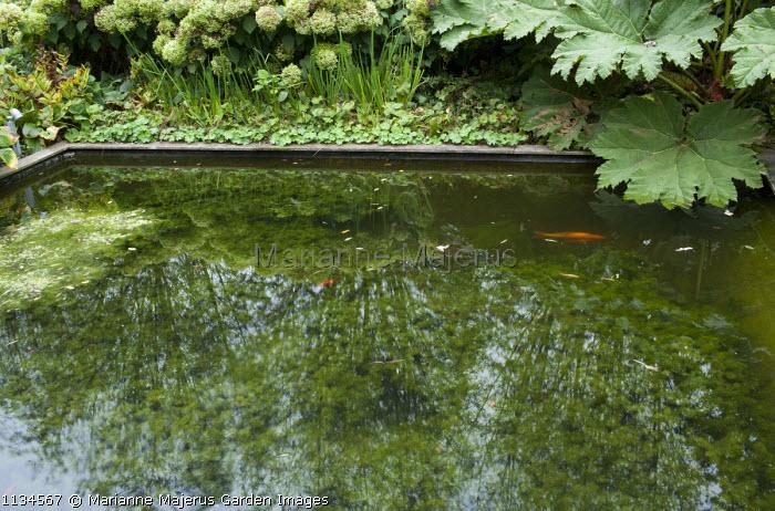 Formal fish pond, Gunnera manicata, Hydrangea arborescens 'Annabelle', Alchemilla mollis