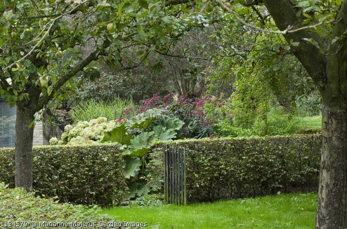 Rustic wooden gate in clipped hornbeam hedge, apple tree orchard, hydrangea, eupatorium, Gunnera manicata