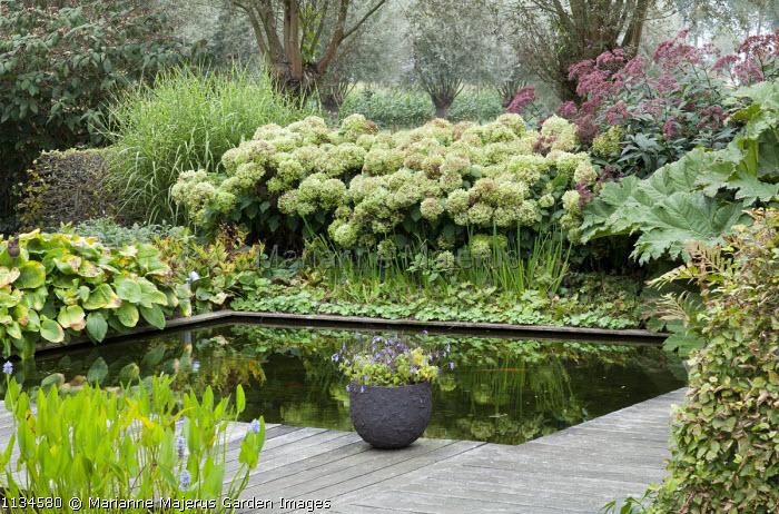 Formal fish pond surrounded by decking, Hydrangea arborescens 'Annabelle', eupatorium, Gunnera manicata, hosta, Miscanthus sinensis 'Zebrinus'