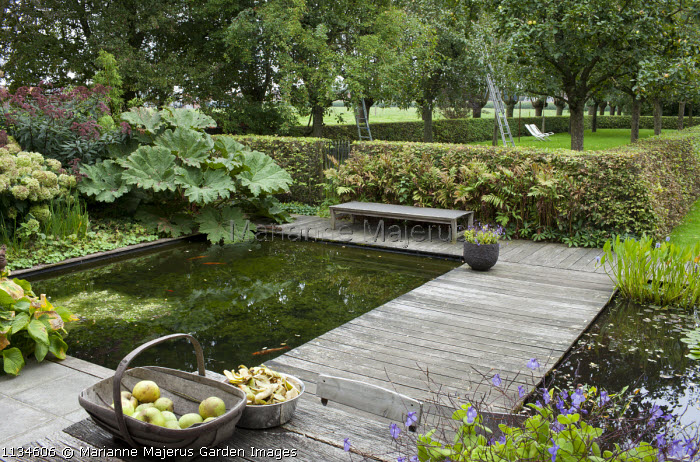 Wooden bench on decking overlooking formal fish pond, Gunnera manicata, hornbeam hedge, view to orchard