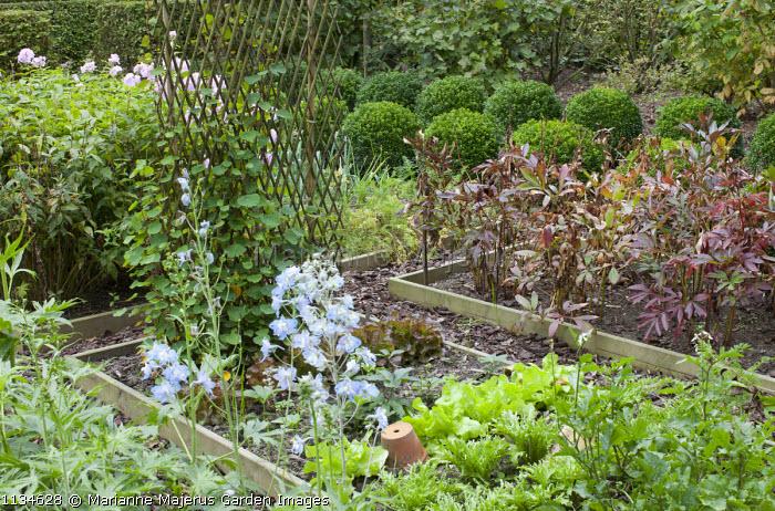 Kitchen garden, nasturtiums on willow trellis, aconitum, phlox, peony foliage, rows of box balls