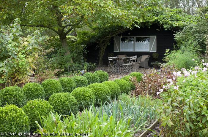Rows of clipped box balls edging path through kitchen garden leading to rustic table and chairs beneath tree by garden shed, phlox, leeks, raspberries