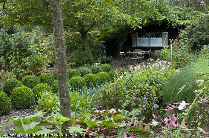 Rows of clipped box balls edging path leading to rustic table and chairs beneath tree by garden shed, phlox, echinacea