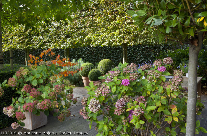 Hydrangeas and clipped box balls in containers, pleached trees