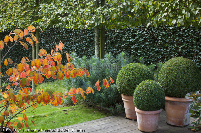 Hamamelis, clipped box balls in terracotta containers, pleached hornbeam screen, euphorbia