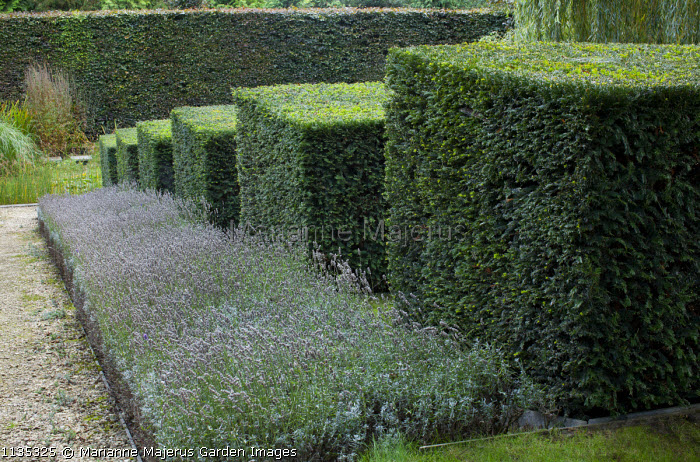 Stepped row of clipped yew cubes in sloping garden, lavender, hornbeam hedge