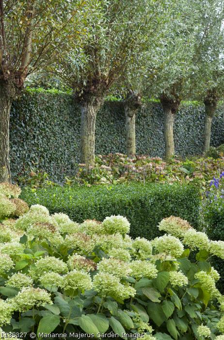 Row of pollarded willow trees, hydrangea