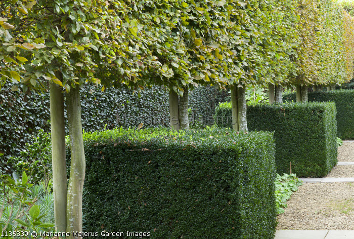 Pleached hornbeam hedge, clipped box cubes