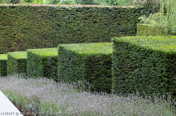 Row of stepped yew cubes, hornbeam hedge, lavender