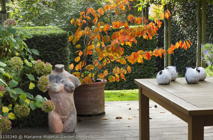 Hamamelis in container on patio, wooden table, terracotta bust, yew hedges